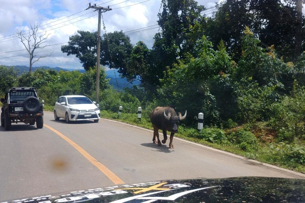Thailand Offroad Wasserbüffel auf der Straße