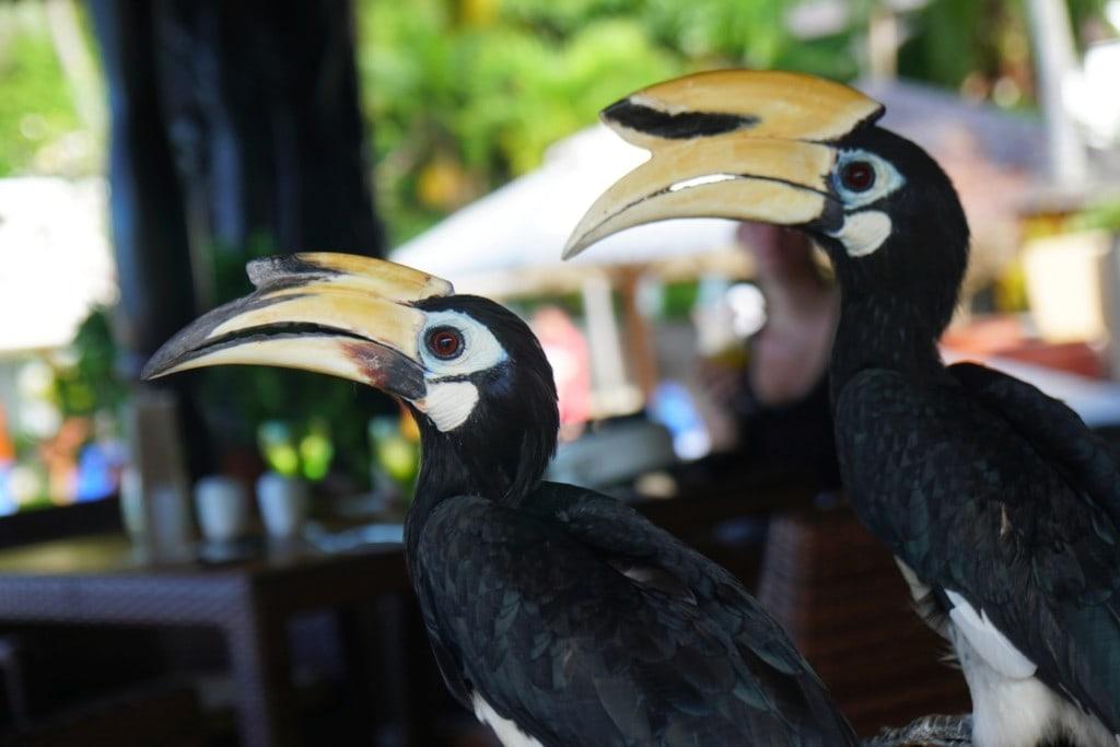 Nashornvogel (Hornbill)