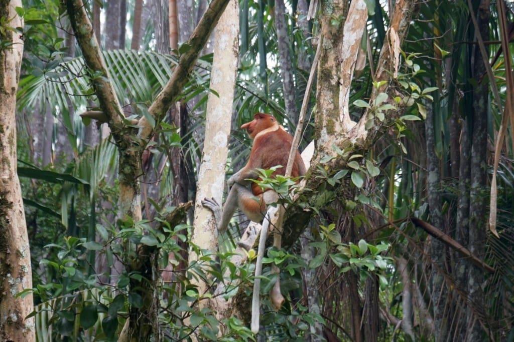 Bako Borneo Nasenaffen