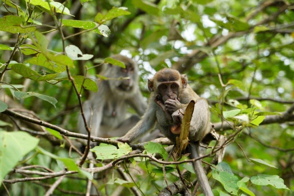 Bako Makaken Borneo