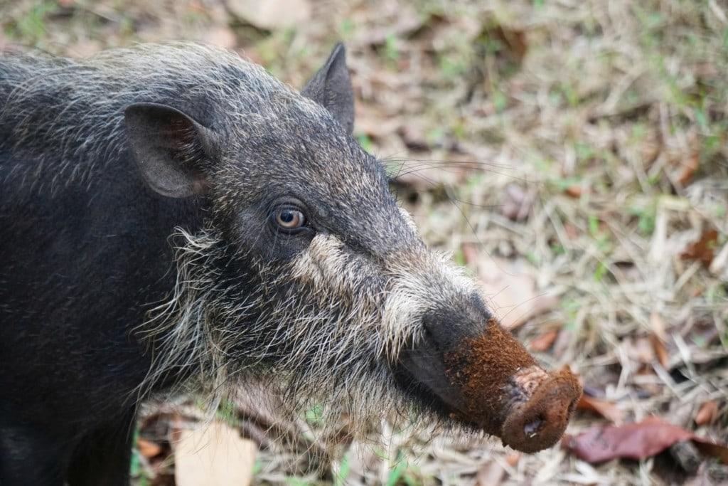 Bako Wildschweine