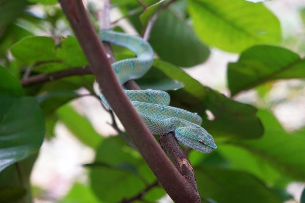 Grubenviper Borneo Grüne Schlange