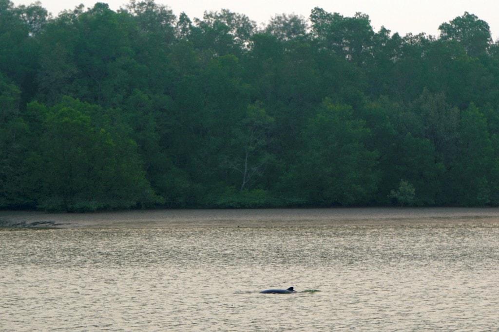 Irrawaddy Delphin