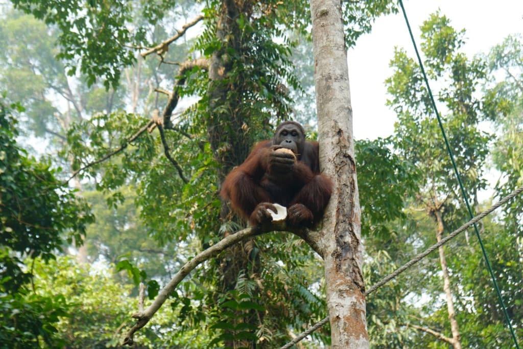 Orang-Utan auf Borneo Kokosnuss