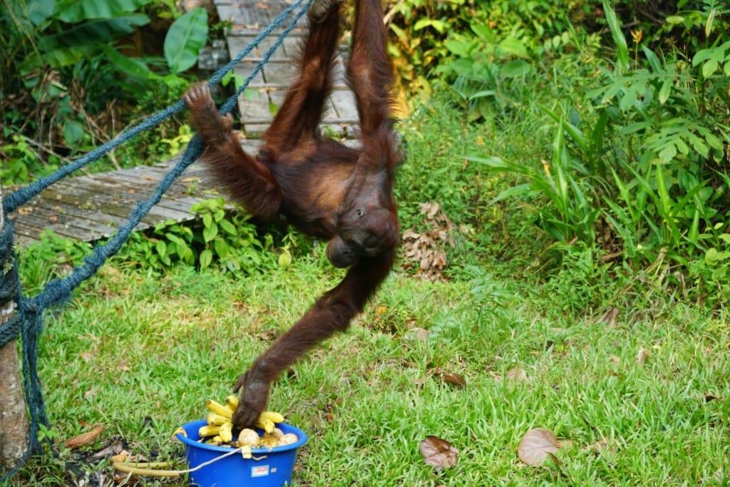 Orang-Utans auf Borneo sind wählerisch