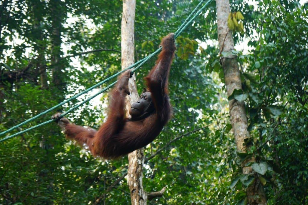 Orang-Utans klettern auf Seilen