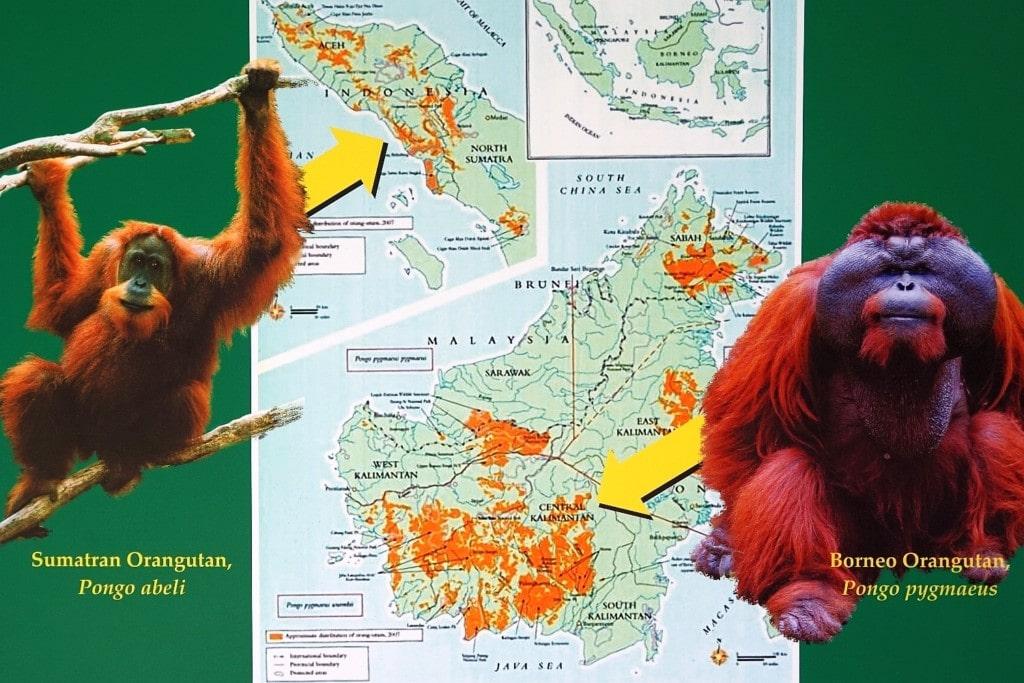 Orang Utan Kuching Borneo