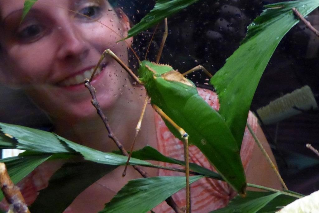 Schmetterling auf Ananas