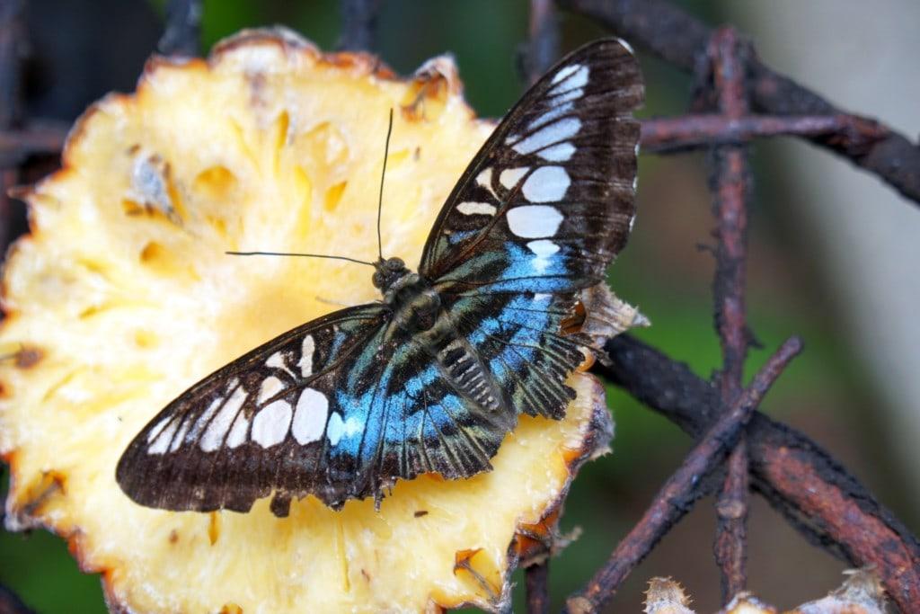 Schmetterlinge Butterfly Farm Penang