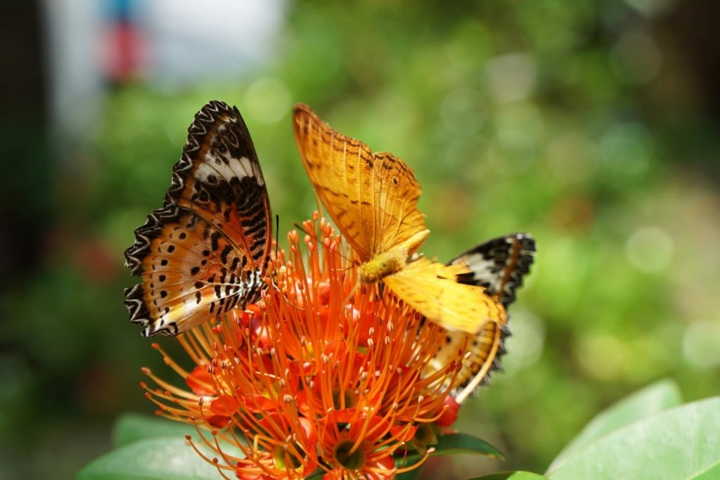 Schmetterlingspuppen entopia