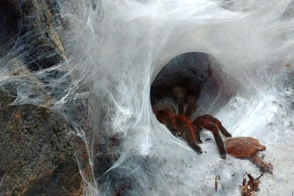 Vogelspinne Netz
