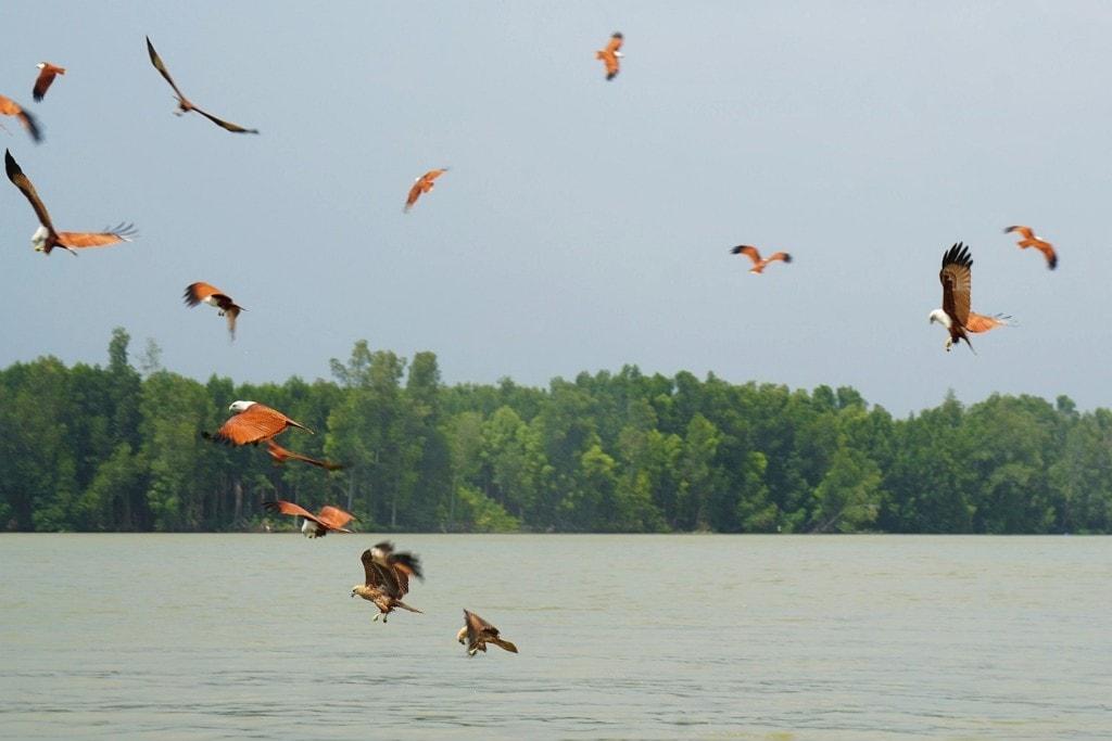 Adler Sungai Sepetang