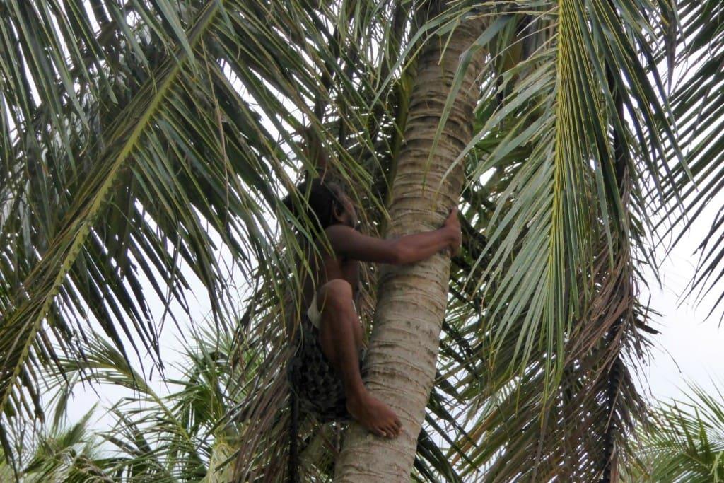 Kokosnussernte Stonepark