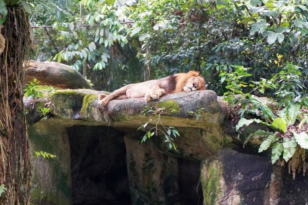 Löwe Taiping Zoo