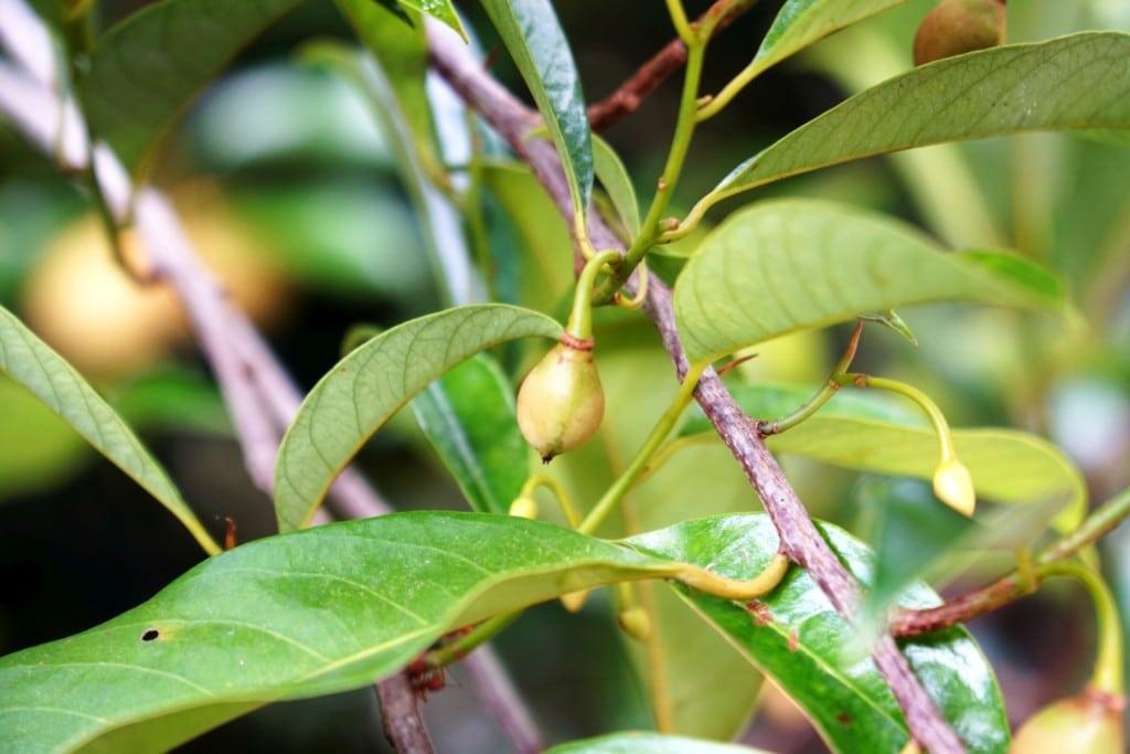 Muskatnuss Fruchtansatz