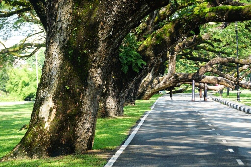 Taiping Lake gardens alte Bäume