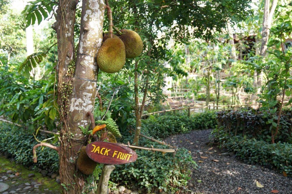 Basanta Agro Orgnic Bali Jackfruit