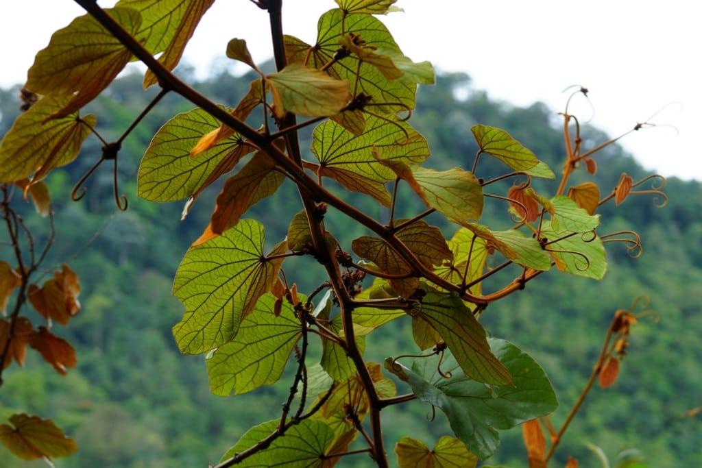 Penang Art and Garden Pflanze