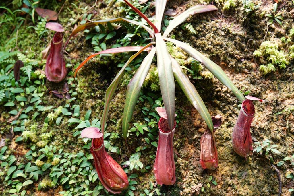Kannenpflanze Malaysia