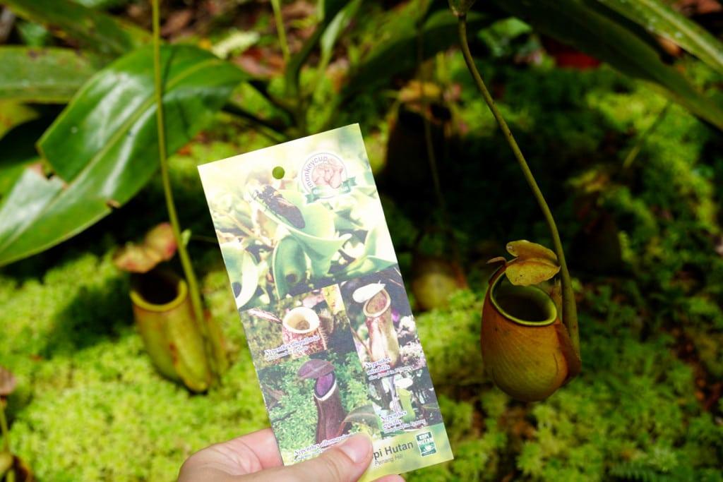 Monkey Cup Garden Penang Hill