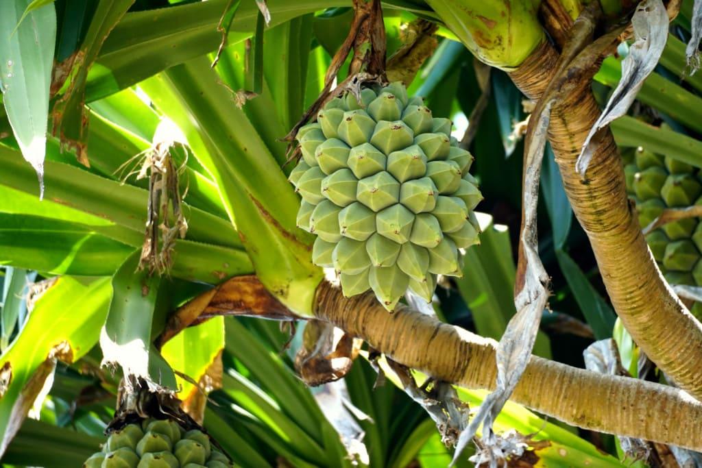 Frucht einer Schraubenpalme