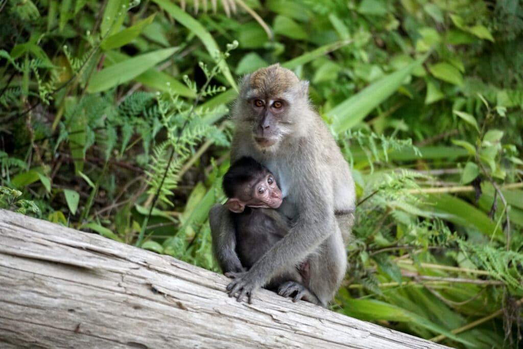 Makaken Mutter mit Säugling